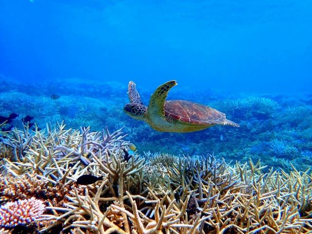 バラス島周辺のウミガメ