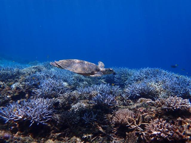 バラス島周辺の海で泳ぐウミガメ