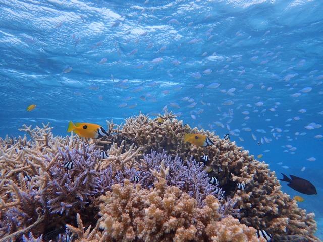 小浜島のシュノーケリングで見られる熱帯魚
