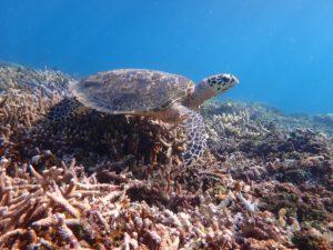 西表島のシュノーケリングツアーで出会えるウミガメ