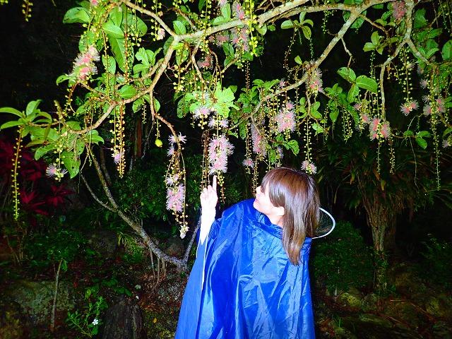 西表島の季節限定のサガリバナ