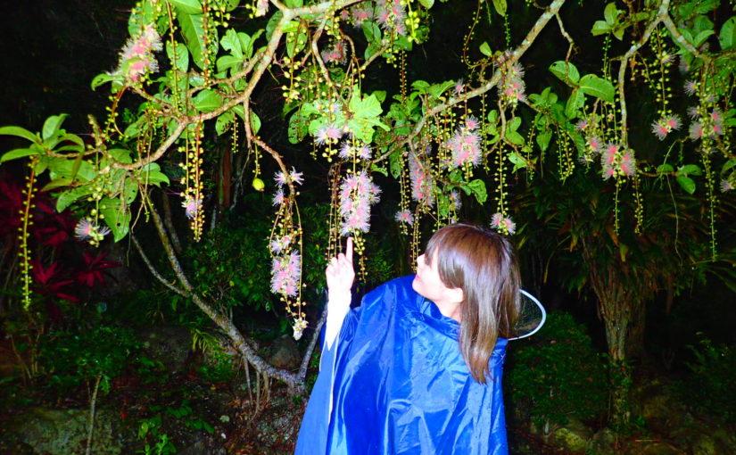 宮古島の湿地帯に自生するサガリバナを鑑賞