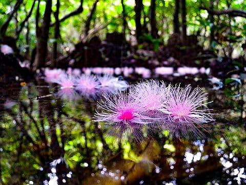 海面に落ちたサガリバナの花