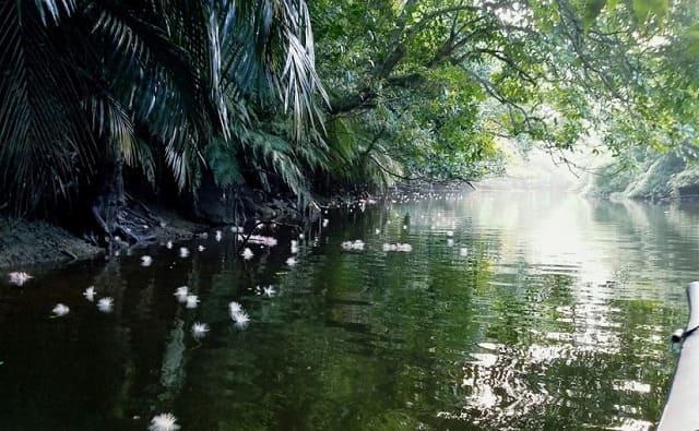 サガリバナの香りが満ちたマングローブ川