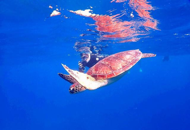 石西礁湖に生息するウミガメ