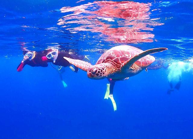 アカウミガメと一緒に泳ぐ女性