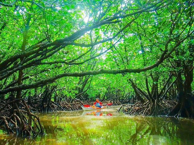 マングローブ林とカヌー