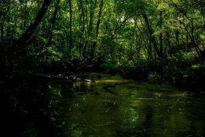 マングローブの湿地帯に生息するヤエヤマヒメボタル