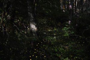 ヤエヤマヒメボタルが乱舞する幻想的な風景