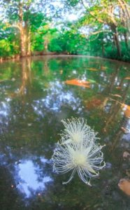早朝にマングローブ川に花びらを落とすサガリバナ
