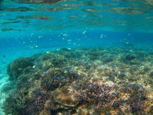 国内最大規模の小浜島の珊瑚礁