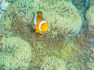 石垣島のダイビングで見ることができるカクレクマノミ
