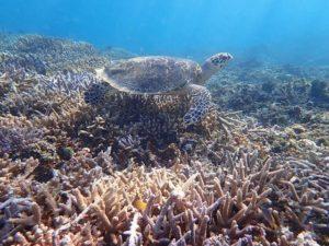 西表島のシュノーケリングで出会ったウミガメ