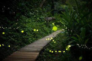 西表島のジャングルの奥地に住むヤエヤマヒメボタル