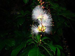 マングローブ付近に自生するサガリバナ