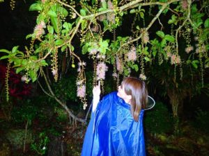 夜の幻の一夜花といわれるサガリバナ鑑賞
