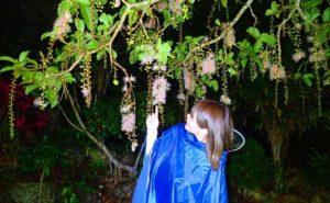 湿地帯に自生するサガリバナを鑑賞