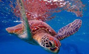 宮古島の海に生息するウミガメ