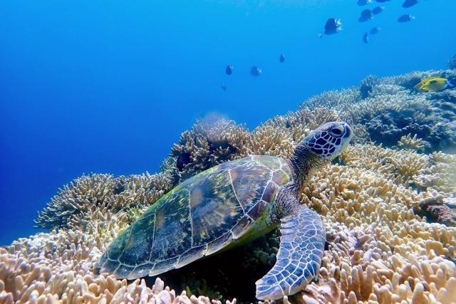 石垣島のウミガメ体験ダイビング
