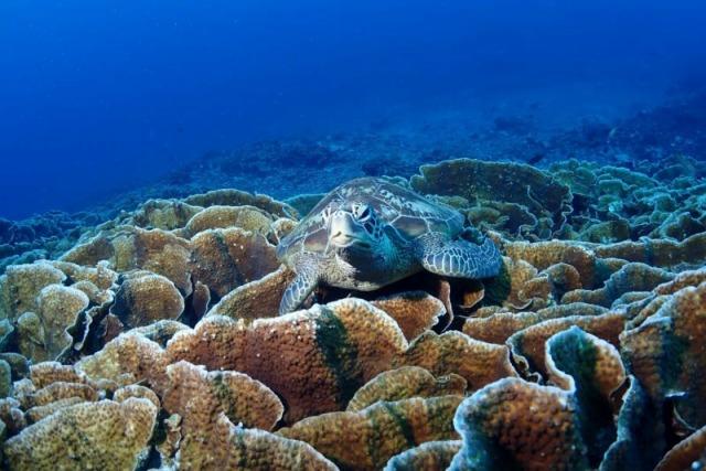 石垣島の海ガメ