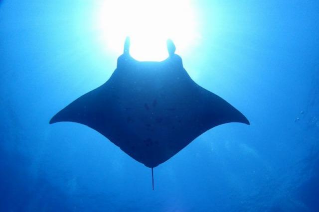海底から見られるマンタ