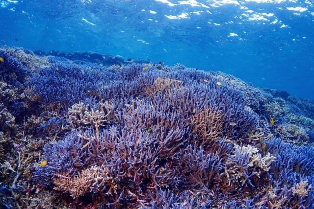 石垣島の海底にびっしり埋め尽くされた石西礁湖