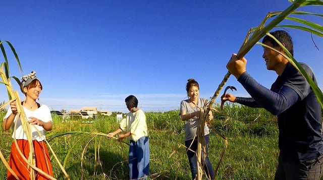 宮古島のサトウキビを収穫
