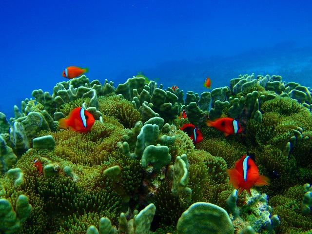 八重干瀬の熱帯魚達