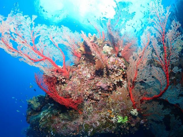 綺麗なサンゴ群生が息づく慶良間の海