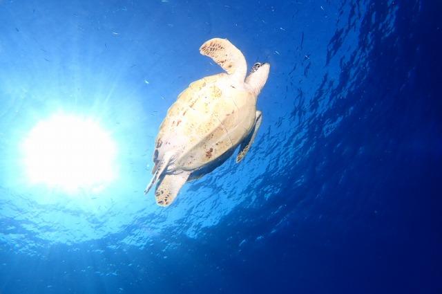 ケラマブルーの海を悠々と泳ぐウミガメ