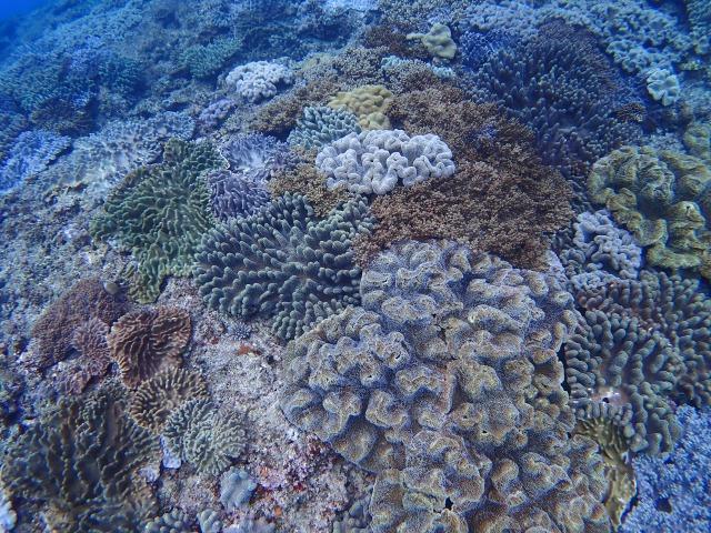 多種多様なサンゴの群生