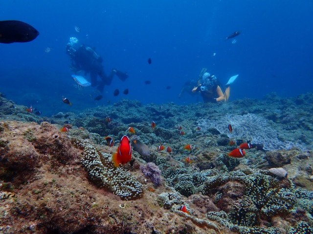 かわいいクマノミ、美しいサンゴ礁