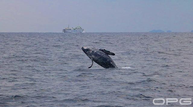 海面から飛び上がるザトウクジラ