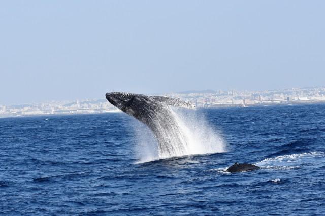 ダイナミックにジャンプするザトウクジラ