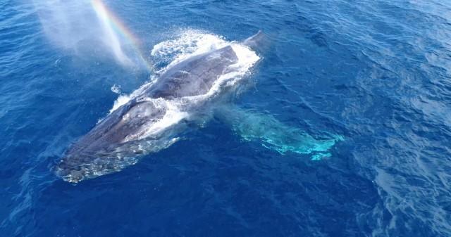 沖縄のザトウクジラの潮吹き
